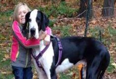 Teneri cuccioli Notizie: Usa, George il cane alano. aiuta la bimba disabile...