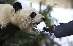 A visitor feeds a giant panda with a snowball at a zoo in Kunming, China