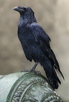 Warnings at Waverly Academy Quoth The Raven, Raven Bird, Crow Bird, Blue Raven, Beautiful Birds, Animals Beautiful, Corvo Tattoo, Raven Pictures, Raven Tattoo