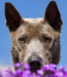 Thai Ridgeback dog photography Thai Ridgeback, Pet Dogs, Pets, Dog Photography, Dog Breeds, Pitbulls, Animals, Animales, Pit Bulls
