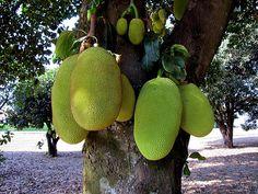 #Jackfruit - Tastes good too!