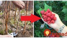 Najlepšia pomôcka záhradkára, ako v marci rezať maliny: Stačí urobiť toto a čakajte bohatú úrodu! Thing 1, Watermelon, Raspberry, Flora, Fruit, Gardening, Fimo, The Fruit, Garten