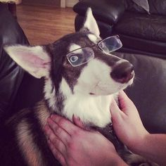 Mum my eyesight is fine thanks!  #wolfdog #wolf #northerninuit #chief #glasses #funny #dog #dogsofinstagram #puppy #pup #puppiesofinstagram #postmypup #puppyoftheday #dogscorner #followback #followme #dogsofinstagram #muttskickbutt #husky #germanshepherd #cross #gsd #Padgram