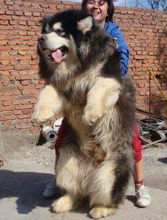 bear like dog. huge n fluffy