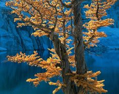 The Enchantments in the Alpine Lakes Wilderness is one of my favourite locations to photograph . On my first autumn visit to the area I came across this fine backlit Larch with a wonderful little lake in deep shadow behind. By the time that I had set up my 4x5 camera the light had passed and I had missed the moment. I made a note of the time and location. The following year I made the trek up to this spot once again and sure enough at 1pm on a clear afternoon I managed to get the shot that I…