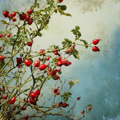 rosehips by Iris Lehnhardt - still life with rosehips, textures added from ShadowhouseCreations. Apple Garden, Photography Store, Cute Paintings, Seed Pods, Fall Flowers, Botanical Art, Wallpaper S, Wall Murals, Iris