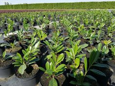 Smaragd tuja Leylandi Leylandii Tiszafa Taxus Babér Babérmeggy stb - Miskolc, Borsod-Abaúj-Zemplén Red Robin, Prunus, Peach