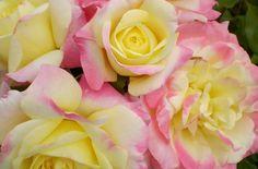 Easy Elegance 'Music Box' Shrub  Rose