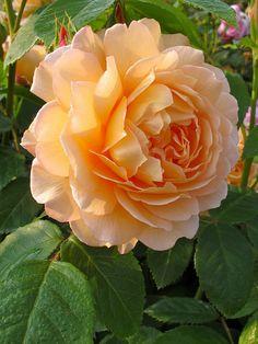 Apricot 'Grace' Rose