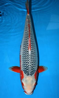 Asagi - fully scaled, non-metallic koi, scales are pale blue where they enter the skin with a darker edging.  Wherever hi (more a rusty red in this variety) appears it should be symmetrical.