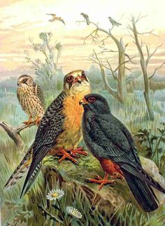 Falco Vespertinus - Johann Andreas Naumann (1744–1826)