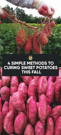Curing sweet potatoes is a method which makes them sweeter and also, they can then last a whole winter long. Find out how to do this here.