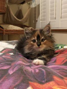 Bobita Blaze Bobtail Cat, Cattery, Cats, Animals, Gatos, Animales, Animaux, Animal, Cat