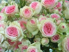 These are so pretty. Look like Austin English roses. Does anyone know what cultivar they are?