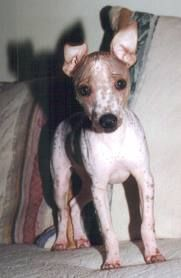 The distinct American Hairless Terrier breed began in 1972 when one hairless puppy named Josephine appeared in a Rat Terrier litter in the state of Louisiana, United states.