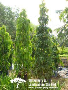 T020802Polyalthia Longifolia 'Temple Pillar'(Asoka Tree Melaka Tree)