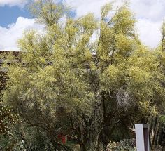 Little-leaf Palo Verde-Parkinsonia microphylla