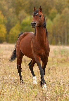 Lovely shot of a beautiful horse - Friesenpferde u. Most Beautiful Animals, Beautiful Horses, Beautiful Creatures, Majestic Horse, Majestic Animals, Horse Photos, Horse Pictures, Bay Horse, All The Pretty Horses