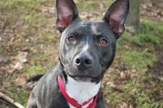 Travis is a sensitive 2-year-old Pit Bull/Australian Cattle Dog mix! He needs a bit of time to warm up but is treat-motivated and likes attention once he gets to know you a bit. This sweet boy will make a great companion. Travis was ADOPTED! from Seattle Humane, Feb. 2017