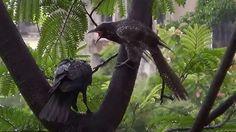 Crow feeding Asian Koel - 2 (SHRIKANT MADHAV KELKAR)