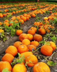 pumpkins pumpkins!