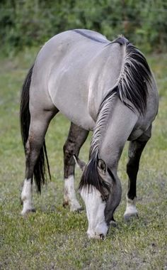 Top 24 Horse Pictures Ever - Tournette . - - Top 24 Horse Pictures Ever horse photography Beautiful Horse Pictures, Most Beautiful Horses, All The Pretty Horses, Animals Beautiful, Horse Love, Horse Girl, Gray Horse, Grulla Horse, Andalusian Horse