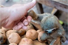 Baby Sloth Pictures - An amazing Collection of pictures of baby sloths. Includes Sloths with teddy bears, sloths eating and sloths holding hands with humans Cute Baby Sloths, Cute Sloth, Cute Baby Animals, Animals And Pets, Funny Animals, Baby Otters, Wild Animals, Strange Animals, Small Animals