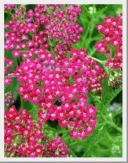 Deer Resistant Perennials Graceful Gardens In 2020 Deer Resistant Perennials Deer Resistant Garden Deer Resistant Plants