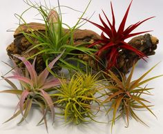 pack of five air plants :: so easy to take care of! they're a favorite of mine. Terrarium Supplies, Terrariums, Air Plants, Indoor Garden, Garden Ideas, Yard, Outdoors, Gardening, Color