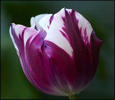 Tulipan Rem's Favourite