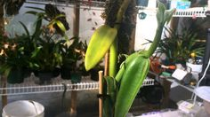 Vanilla orchid Update: New growth and Orchid care tips