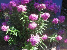 Pretty Flowers Mid-July 2013