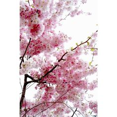 Cherry Blossom ❤ liked on Polyvore featuring backgrounds, pictures, flowers, photos, art, filler, embellishment, scenery, effect and text