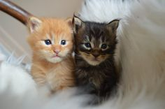 XXL Maine Coon Kitten mit Papieren zu... (Delbrück) - Sonstige Maine Coon…
