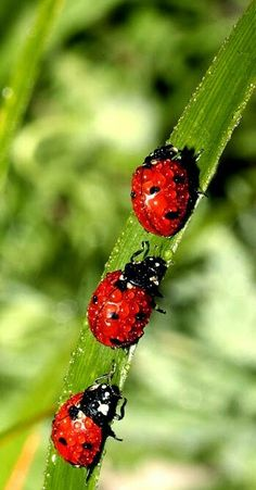 Ladybird, Ladybird, fly away home, your house is on fire and your children are alone. I learned this as a child and it always made me feel sad.    http://chloethurlow.com/2014/06/insects/ - repinned  by http://daniesgranny.com