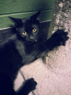 Prattville/Autauga Humane Society Prattville, AL  Keith is 10-months old, solid black, short haired, and neutered. He has been a resident of the shelter for a while now. We don't know why as Keith is such a loving little guy! He gets along with everybody: kids, cats, and dogs! Little Keith has a...