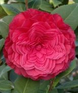 Nuccio's Bella Rossa Camellia (Camellia japonica 'Nuccio's Bella Rossa' P.P. #13,023)