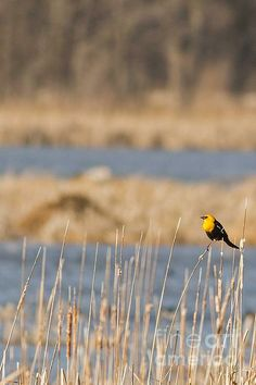 A male yellow-head blackbird with its brilliant yellow head flitters among the reeds in Horicon Marsh, Wisconsin.