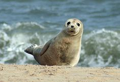 Boat trip to see the seal pups is a must when visiting Norfolk
