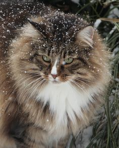 Gentle snowfall on a stunning Norwegian Forest Cat.