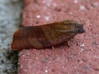 Anjermot - Cacoecimorpha pronubana