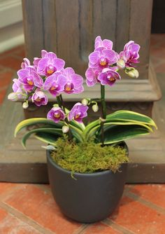Moth-Orchid [Phalaenopsis] with variegated foliage - So very unusual!