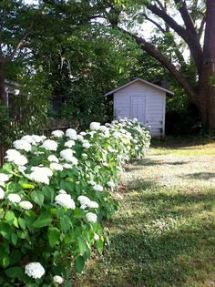 The Old Post Road: Annabelle Hydrangeas