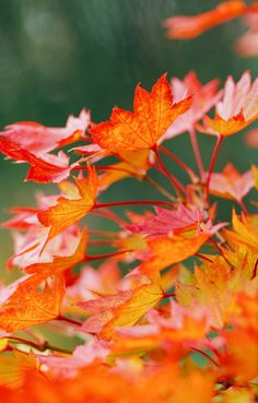 Just one look at the elegant form and foliage of Japanese maples will have you hooked. This type of maple grows smaller than other types and has more delicate, lacy foliage in a wide array of colors. Here are some favorite varieties, including dwarf Japanese maple, that feature a spectacle of vibrant leaf color. #japanesemapletrees #landscaping #backyard #typesofjapanesemaples #gardening #bhg