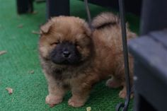 A little baby chow chow