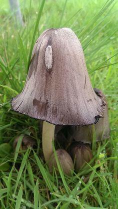 Common Ink Cap Mushroom by werewegian