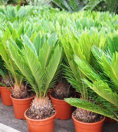 Sago Palm, Garden Ideas, Plants, Gardening, Patio, Exotic Plants, Plant, Backyard Ideas, Planting