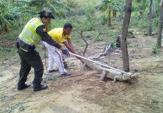 Noticias de Cúcuta: Babilla de dos metros de longitud llegó a vivienda...
