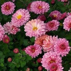 Plant Guide - Plants - Grasses - Chrysanthemum 'Mei-Kyo'