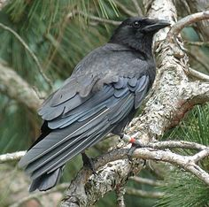 * American Crow * a small flock of about 10 crows flew into our yard today. They are so large compared to the little chickadees and titmice. There wasn't much to eat since they couldn't fit at the feeders (and didn't even try). The squirrels had eaten everything that had fallen on the ground. So the crows left as quickly as they came.